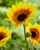 Helianthus annuus SunBelievable™ Brown Eyed Girl