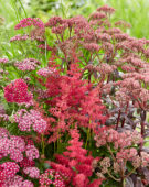 Perennial mix red