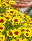 Coreopsis rosea Twinklebells® Sunrise