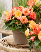 Begonia On Top® Sunset Shades