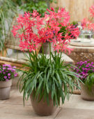 Nerine elegance Shades of Cherry