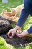 Planting Crocus bulbs in lawn