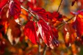 Parrotia persica Persian Spire