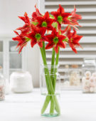 Hippeastrum Red Beauty