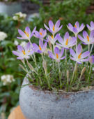 Crocus tommasinianus Lilac Beauty