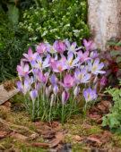 Crocus tommasinianus Roseus, Lilac Beauty