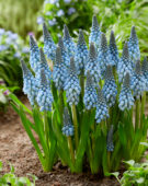 Muscari Blue Horizon