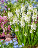 Muscari Snow White