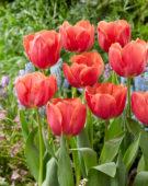Tulipa Caro