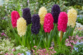 Hyacinthus Mix - Midnight Mystic, Bon Bini, Jan Bos