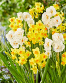 Narcissus Innisidgen, Abba