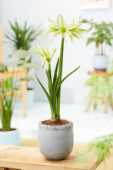 Hippeastrum Evergreen