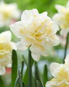 Narcissus Irene Copeland