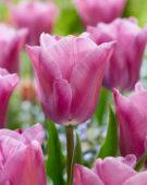 Tulipa Anjesca