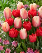 Tulipa Carrot Pride, Spitfire