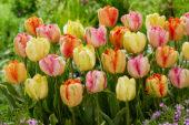 Tulipa Parrot mix