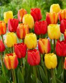 Tulipa Apeldoorn mix