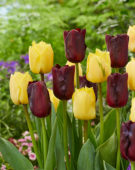 Tulipa Monique, Magic Maroon