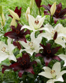 Lilium combination