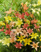 Lilium mix, asiatic pollen free