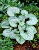 Brunnera macrophylla Jack Frost ®