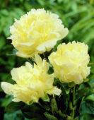 Paeonia Goldmine