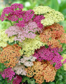 Achillea mixed