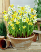 Narcissus Little Flowering mixed