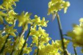 Vertigo serie: Narcissus Hawera