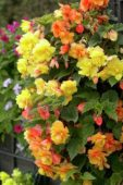 Begonia cascade yellow + orange