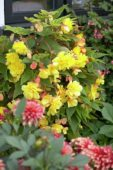 Begonia cascade yellow