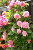 Begonia cascade pink