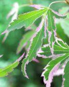 Acer palmatum Taylor