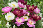 Paeonia single mixed