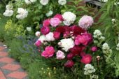 Paeonia double mixed