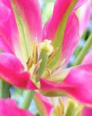 Tulipa Virichic