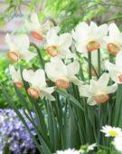Narcissus Elizabeth Ann