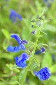 Salvia patens Royal Blue