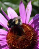 Bumble bee on Echinacea flower