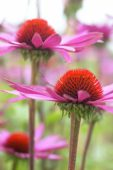 Echinacea pink