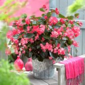 Begonia rose dark foliage