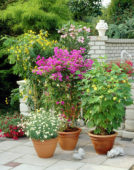 Collection patio plants, Senna, Nerium, Bougainvillea, Abutilon, Chrysanthemum