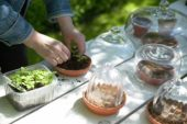 Planting seedlings under bell cloches