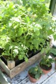 Tomato plants in wooden crate