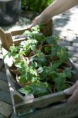 Carrying tomato plants in wooden crate