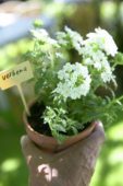 Verbena plant in hand