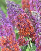 Buddleja bicolor Flowerpower