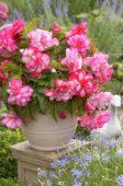 Begonia Pink Balcony