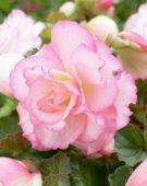 Begonia Picotee pastel pink