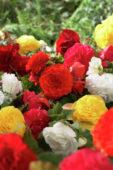 Begonia Non Stop mixed